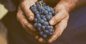 Barbatelle per uva da tavola